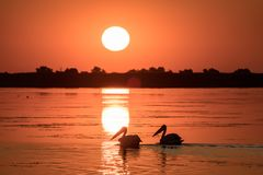 Pelicans at sunrise in Danube Delta stock photo