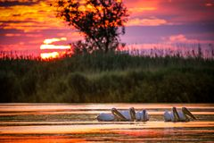 Pelicans at sunrise in Danube Delta, Romania royalty free stock images