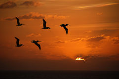 Pelicans at sunset. Flock of pelicans flying into the sunset over the Caribbean royalty free stock photo