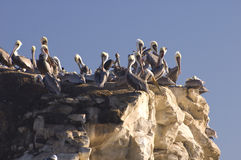 Pelicans at sunset Royalty Free Stock Photo