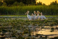 Pelicans at sunset in Danube Delta, Romania royalty free stock photo