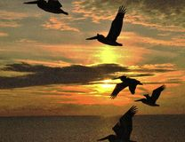 Panama City Beach Pelicans at sunset royalty free stock photography