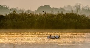 Pelicans swim across the water in the morning mist. Morning mist before dawn.  royalty free stock photos