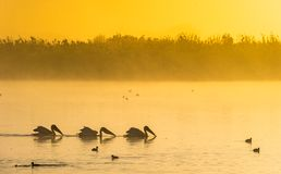 Pelicans swim in the morning mist. Morning mist before sunrise royalty free stock image