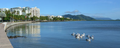 Pelicans swim against Cairns waterfront skyline Royalty Free Stock Photo