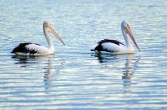 Pelicans swimming. Two lonely pelicans going for a paddle in the river in the early morning stock photography