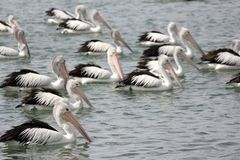 Pelicans Swimming Royalty Free Stock Image