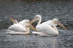 Pelicans swimming in group Stock Photo