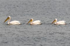 Pelicans swimming in a lake. In Mokarsagar Wetland in India royalty free stock images