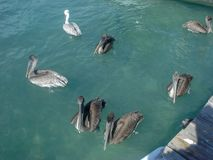 pelicans are swimming in the ocean royalty free stock photo