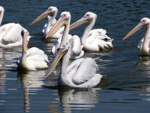 Pelicans. Swimming peacefully card that royalty free stock images