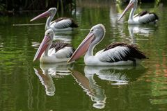 Pelicans swimming in the pond. Pelican bird swimming in the pond at zoo stock photos
