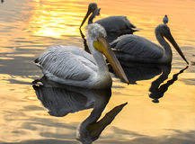 Pelicans swimming with reflection on golden sea. Stock Photography
