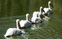 Pelicans swimming in row. Pelicans swimming in lake water in a row diagonal view royalty free stock images