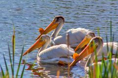 Pelicans Swimming Together On The Water royalty free stock photos