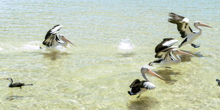 Pelicans swimming in the water. During the day at Tangalooma Island in Queensland on the west side of Moreton Island stock images