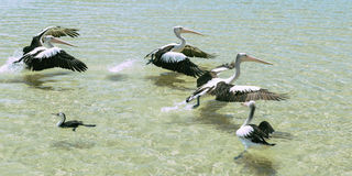 Pelicans swimming in the water. During the day at Tangalooma Island in Queensland on the west side of Moreton Island royalty free stock photos