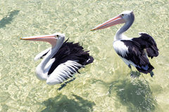 Pelicans swimming in the water Stock Photo