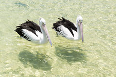 Pelicans swimming in the water Royalty Free Stock Image