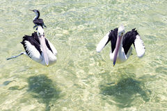 Pelicans swimming in the water Stock Images