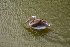 Pelicans swims and catches fish stock images