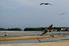 Pelicans  - Tacarigua Lake Stock Images