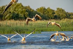 Pelicans take off and in flight at sunrise in the Danube Delta,. Romania royalty free stock image