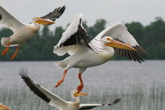 Pelicans Takeoff. American white pelicans taking off on Island Lake in Northome, MN Royalty Free Stock Photography