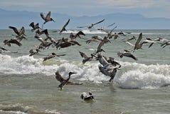 Pelicans Taking Flight Royalty Free Stock Photo