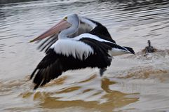 Pelicans Taking Flight:Moore River, Western Australia royalty free stock photography