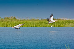 Pelicans taking off in the Danube Delta Stock Photography