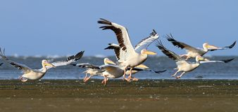 Pelicans taking off from sea shore Stock Images