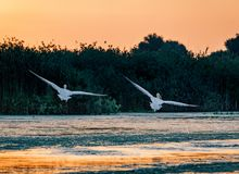 Pelicans taking of at sunrise in the Danube Delta, Romania royalty free stock photo