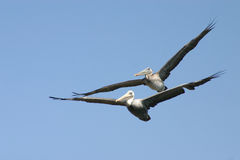 Pelicans in tandom flight. Two gray pelicans flying together Royalty Free Stock Image