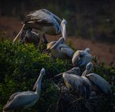Pelicans with their babies royalty free stock photo
