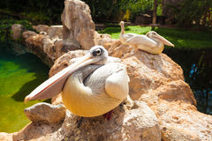 Pelicans. Three big white pelicans stones Stock Photo
