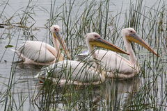 Pelicans. Three white pelicans swimming in the river in Ethiopia royalty free stock photos