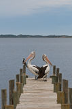 Pelicans on a timber landing pier, mooring Royalty Free Stock Image