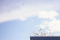 Pelicans on a tin roof. Pelicans sitting on a roof, wondering about their existence and the deeper meaning of life royalty free stock images