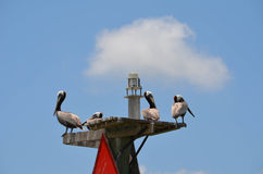 Pelicans on Top of a Marker Bouy. Pelicans standing on top of a marker bouy in Palacios bay royalty free stock image