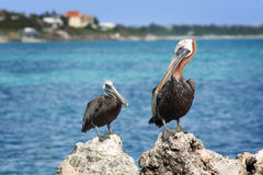 Pelicans, Turks and Caicos Islands. Two pelicans sit atop rocks in Providenciales, Turks and Caicos Islands Royalty Free Stock Photos