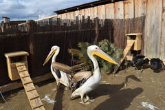 Pelicans. Two great birds, a kind of pelican royalty free stock images