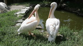 Pelicans. Two Pelicans near the pond stock footage