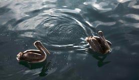 Pelicans. Two pelicans in the Peruvian sea stock photo
