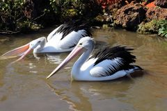 Pelicans. Two pelicans in the pond royalty free stock image