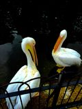Pelicans. Two pelicans in the royal garden in London stock photos