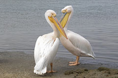 Pelicans. Two Pelicans standing at the edge of the water royalty free stock images
