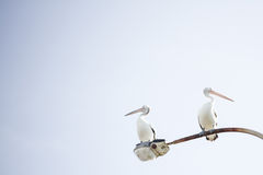 Pelicans. Two pelicans on a street light Stock Image
