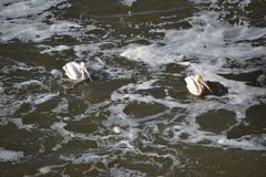 Pelicans. Two Pelicans swimming in the river stock image