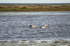 Pelicans. Two pelicans are swimming in the water stock photo